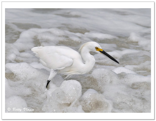 Snowy Egret Fishing | by Betty Vlasiu