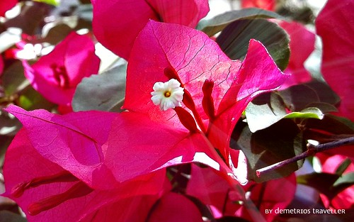 Bougainvillea | by travelling2GR
