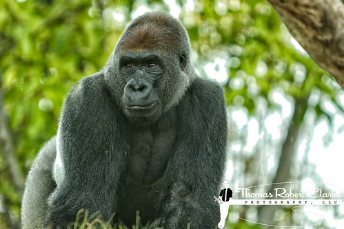 Paul Donn: San Diego Zoo Silverback Gorilla | by Thomas Robert Clarke Photography, LLC