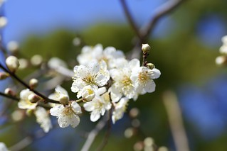 White Plum② | by y_phog