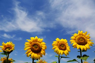 Sunflowers  向日葵 | by MelindaChan ^..^