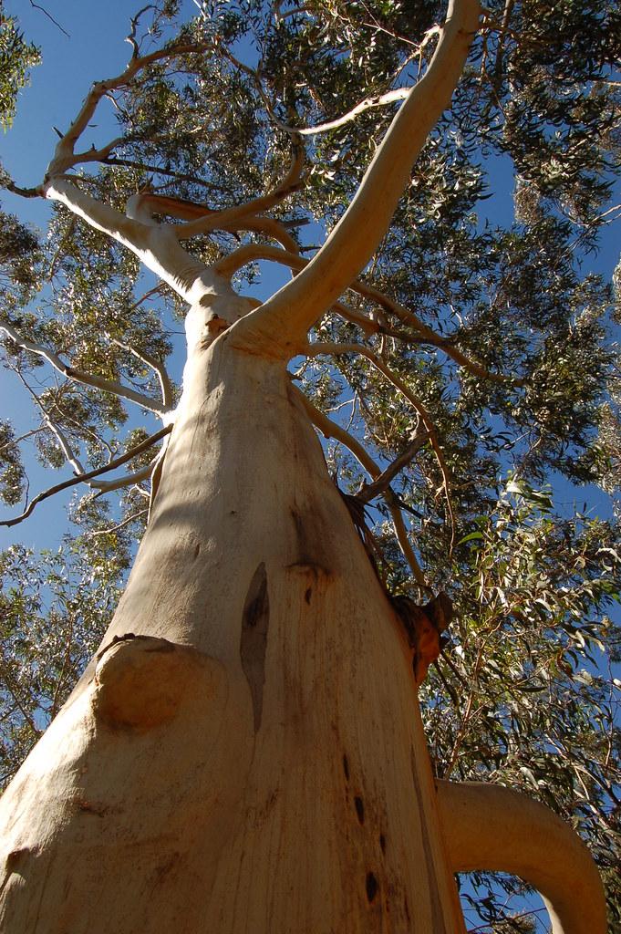 Australia / Blue Mountains / Eucalyptus- 01