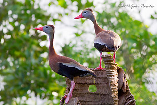 Black-bellied Whistling Duck pair | by bananaman33428