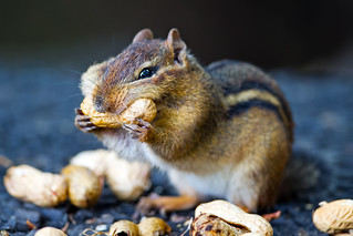 Chipmunk | by Brian E Kushner
