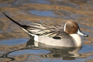 The Northern Pintail has gone North | by Ducklover Bonnie