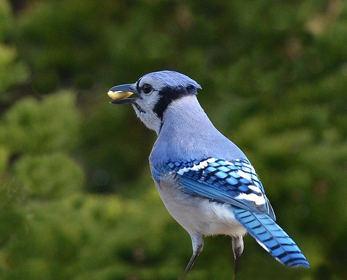 Blue Jay | by KoolPix