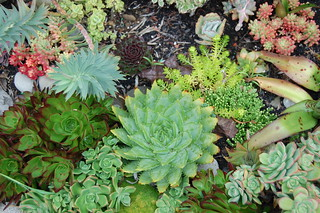 Aloe polyphylla and friends | by FarOutFlora