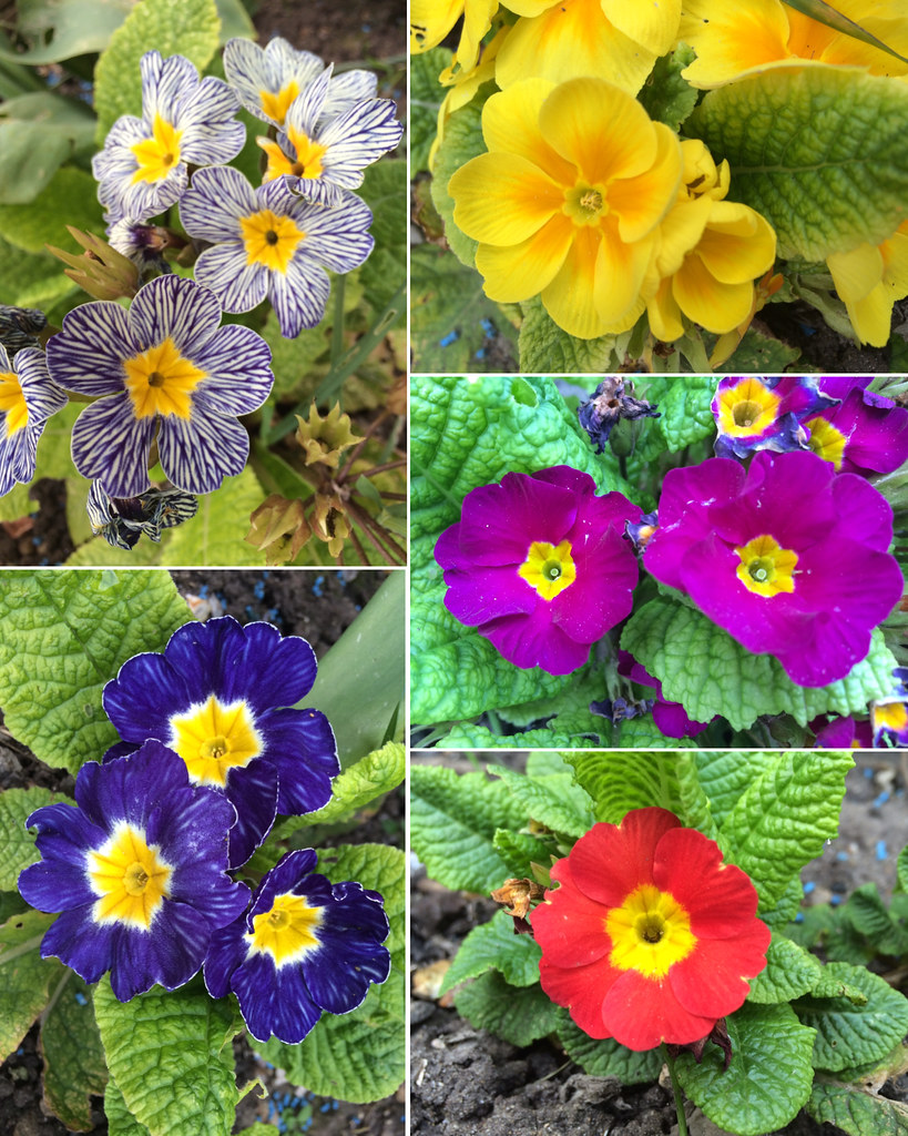 Lovely Spring And Flowers Bloomed In Our Backyard Primrose Flickr