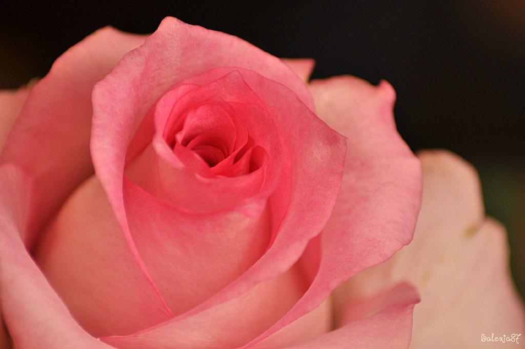 Une Belle Rose Pour Une Belle Fleur Pour Ma Nadege