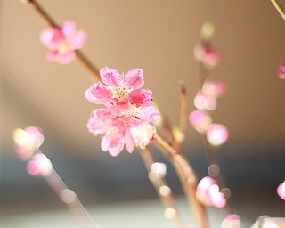 Peach blossoms (桃の花) | by Kiccororin