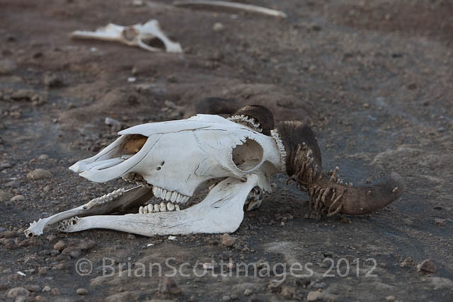 Wildebeest Skull Brian Scott Flickr