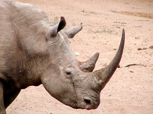 White rhino mkhuze south africa credit karl stromayer for Us fish and wildlife service jobs