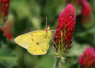 Butterfly on Crimson Clover | by TexasEagle