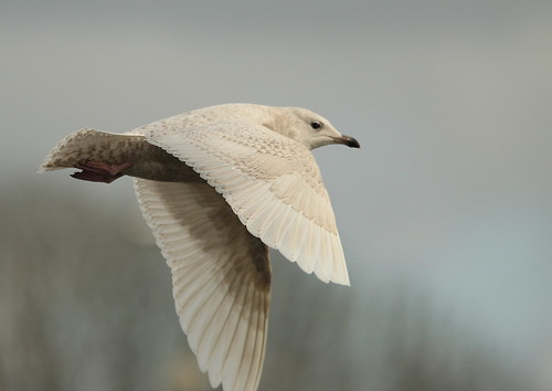 Iceland gull | by Ronald Surgenor