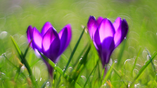 crocussen | by look to see