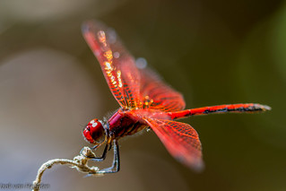 Red dragon | by Vitorcius