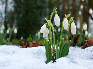 Snowdrops | by James_2nd
