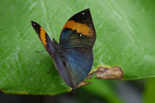 Indian Leafwing | by Kate M Gray