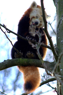 Red Panda | by quoonbeatz.