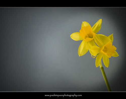 Two headed daff | by Paul Simpson Photography