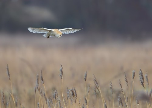 barn owl | by Karen Summers (kaz10)
