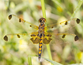 Calico Pennant | by Cliff Collings Photography
