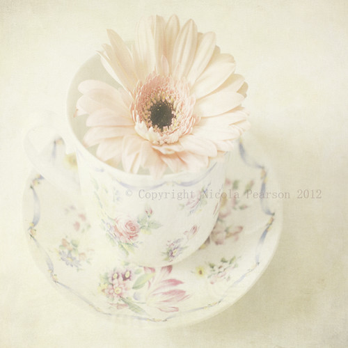 Gerbera In A TeaCup | by prestonchick