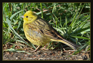 Yellowhammer | by Full Moon Images