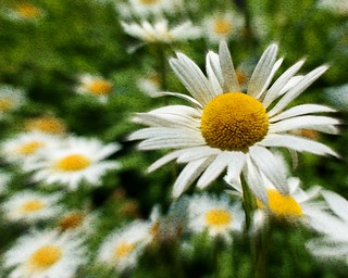 """Zoomy"" Daisy with Texture 