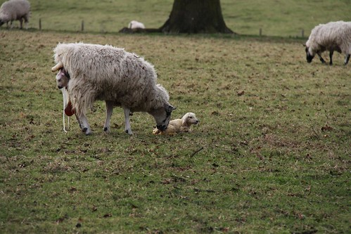 Ickworth Park - Lambing | by Dave Catchpole