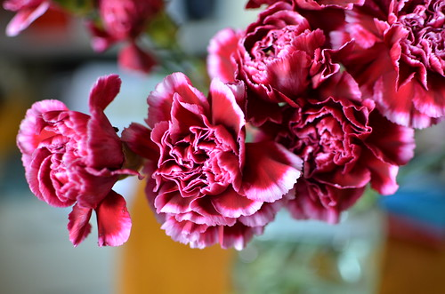 Carnation | by xiaopobao
