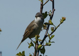 Whitethroat | by jimbrownrosyth