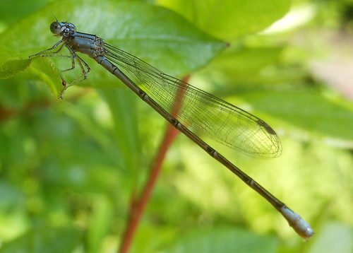 Damselfly | by clyde7995
