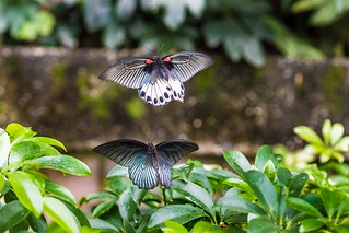 Mating flying 求偶婚飛 | by Sharleen Chao