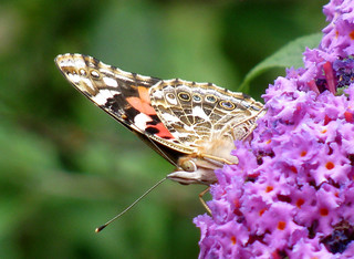 painted lady butterfly | by natureburbs