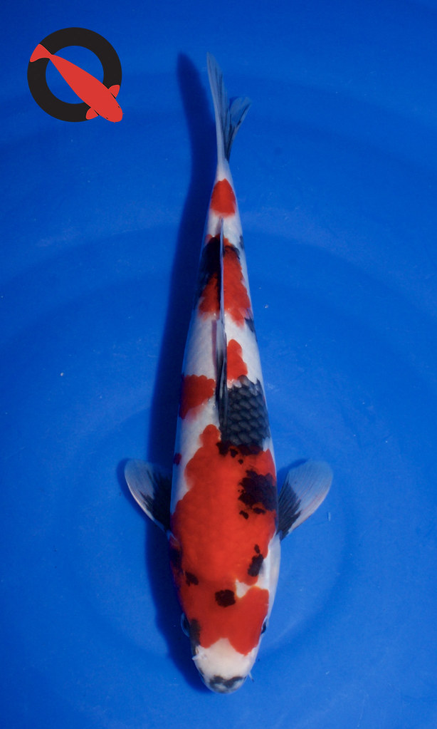 Junior Champion Elna-Koi