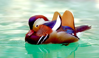 mandarin duck | by floridapfe