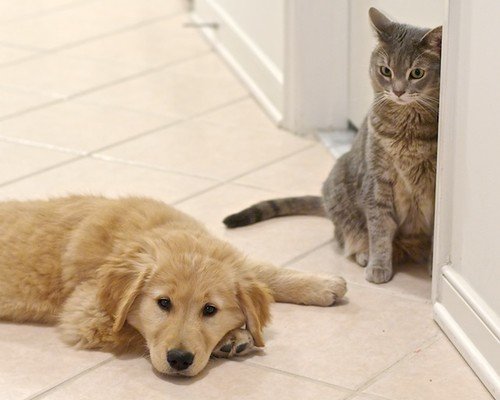 Golden Retriever Puppy and Cat | by scattered1