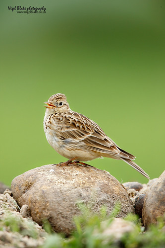 Skylark, Alauda arvensis. | by Nigel Blake, 15 MILLION views! Many thanks!