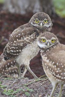 "Burrowing Owls | by Marty Jones ""BIRDS OF INDIANA"""