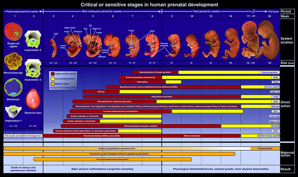 Critical or sensitive stages in human prenatal development… | Flickr