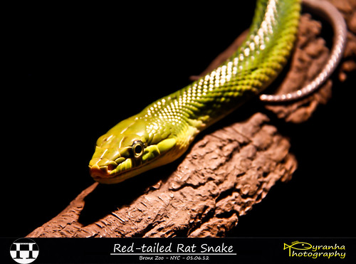 Red-tailed Rat Snake | by Pyranha Photography | 1250k views - THX