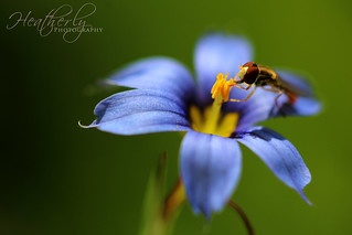 Blue Eyed Grass with Insect | by Heatherly_Photography