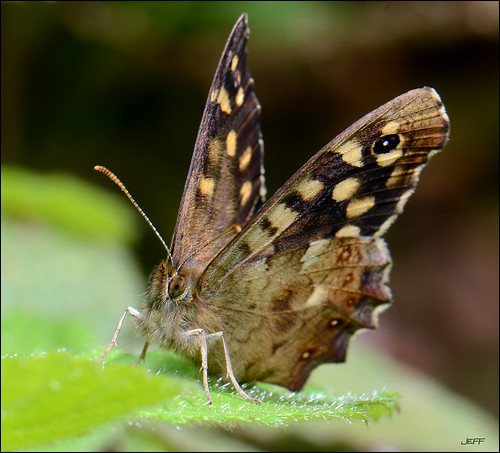 Speckled wood > Pararge Aegeria | by Jefflor8