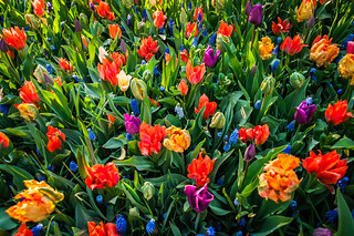 The colors of tulips | by Majka Kmecova