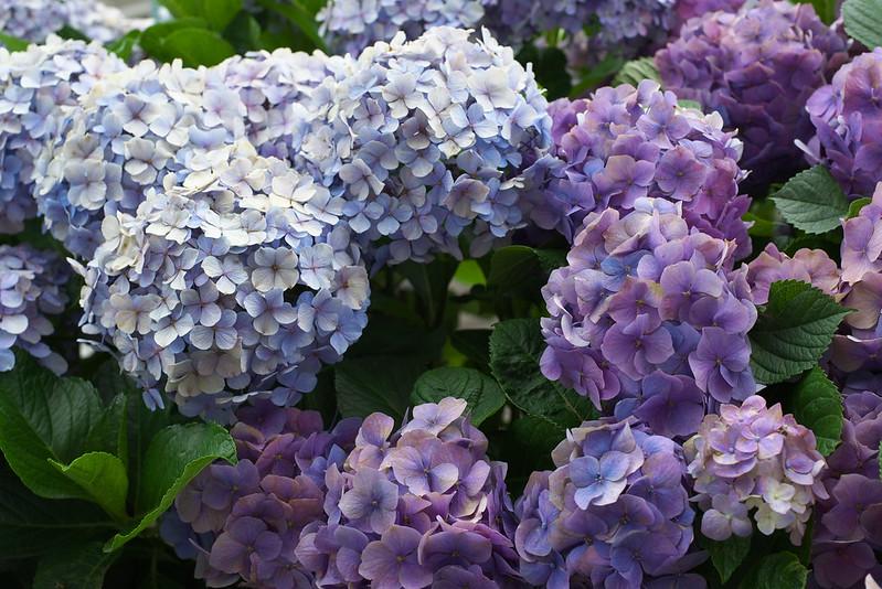 東京路地裏散歩 日暮里の紫陽花 2016年6月25日
