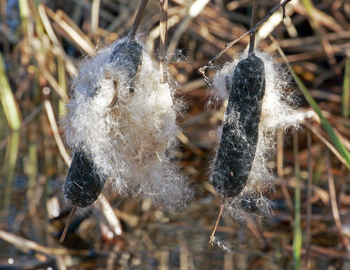 Black Cattails | by Bugbait of Seney