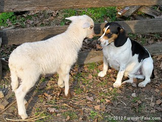 Lamb kissing Bert 3 - FarmgirlFare.com | by Farmgirl Susan