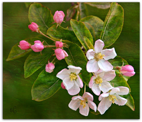 Apple Blossom Time | by Eleanor (No multiple invites please)