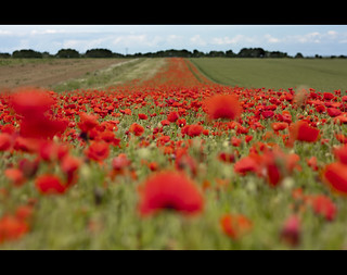 In Flanders Fields - (161/366) | by Lee Crosbie